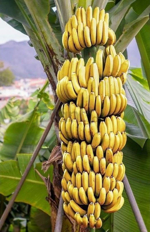 Bibit tanaman pisang cavendish beli 3 bonus 1 BISA COD Sulawesi Utara