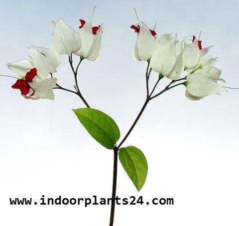 Verbenaceae BLEEDING HEART VINE Plant