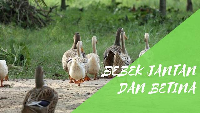 Dalam melakukan sebuah peternakan bebek hal yang mendasar yang perlu kalian ketahui adala Perbedaan Antara Bebek Jantan dan Betina