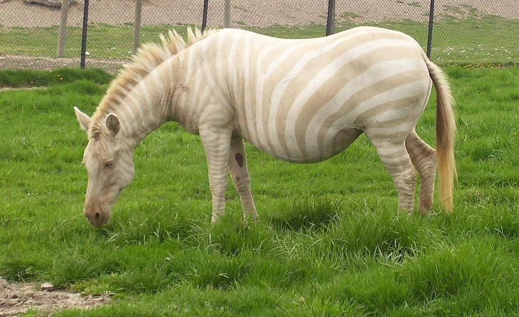 Zebra | A-Z List of 125 Rare Albino Animals [Pics]