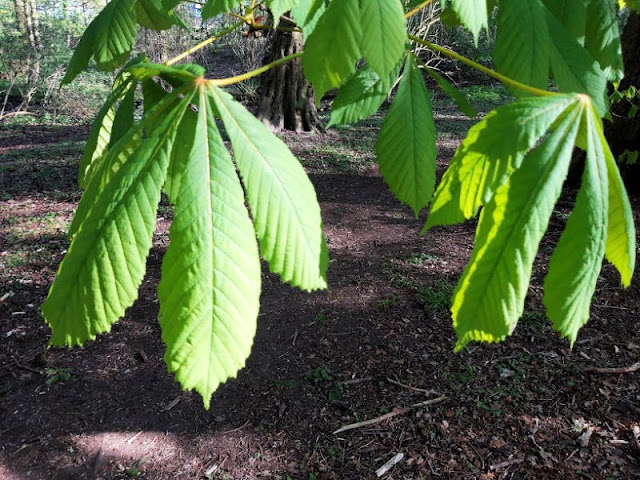 Image shows the horse chestnut leaves two weeks later.  They are much larger.
