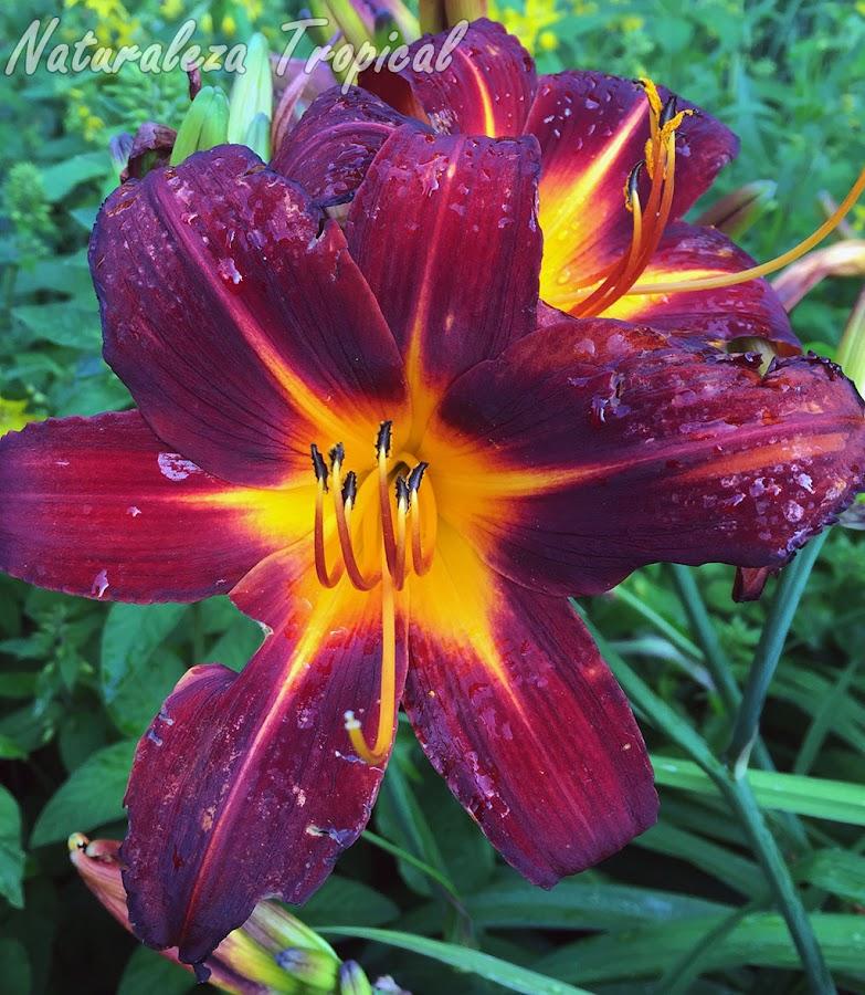 Híbrido con variaciones de color en la flor de una especie de planta bulbosa del género Hemerocallis