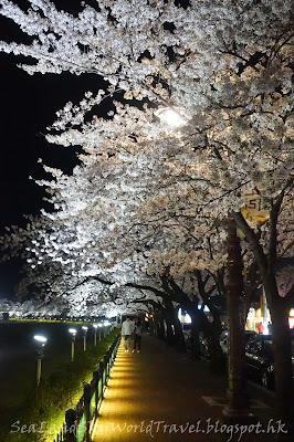 慶州櫻花節夜櫻