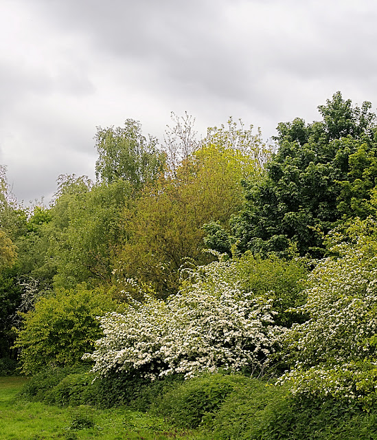 Hawthorn bush flowering among different trees and bushes all of different shades of green