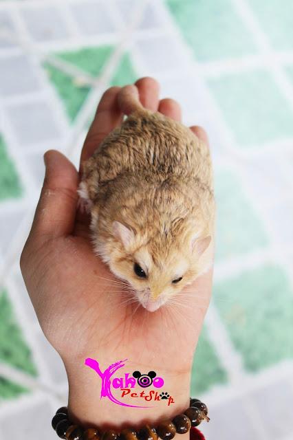 hamster đuôi mập