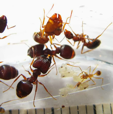 The major, median and minor workers of this rare Pheidole species