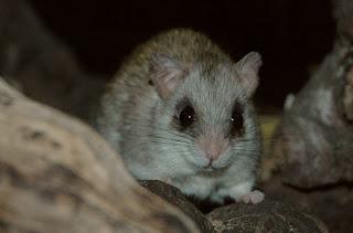 Acacia Rat