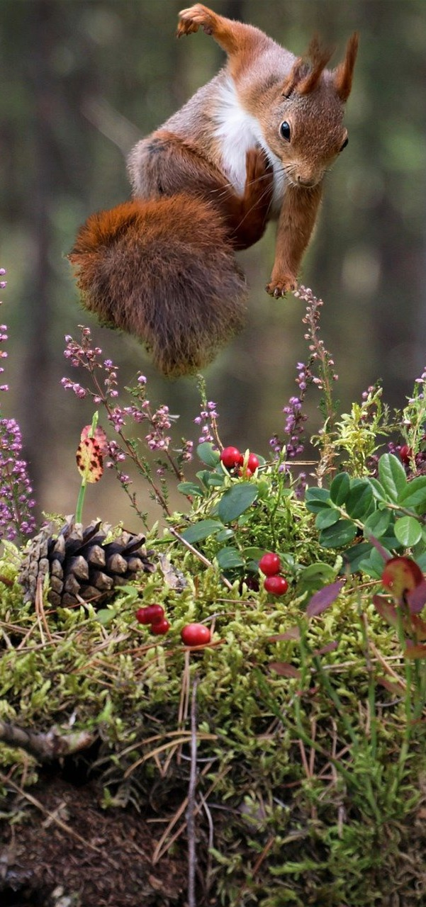 Squirrel acrobatic jump.