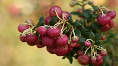 15 árboles y arbustos que regalan coloridos frutos ornamentales en otoño e invierno