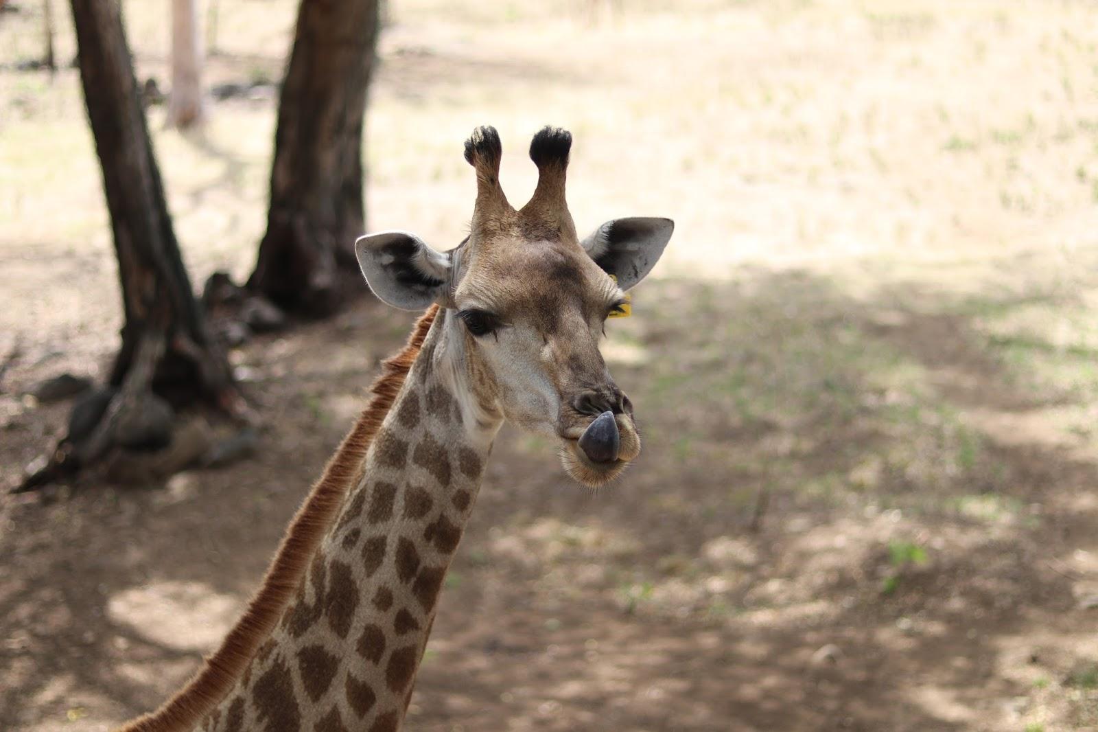 Casela Giraffe