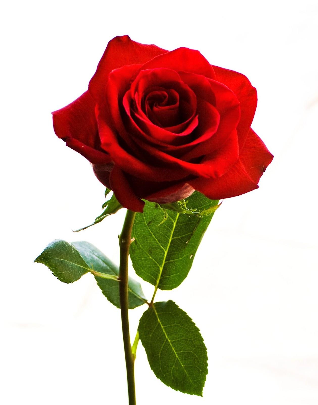 Tumbuh Rose of Sharon Shrub Hedges di Taman Anda de34ff0ad9