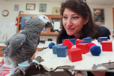 Alex the African Grey Parrot