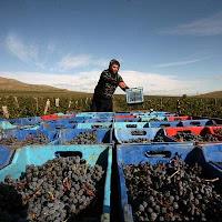 Bulgarian wine grape harvester