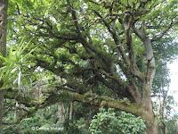 Epiphytes on tree - Pukekura Park, New Plymouth, New Zealand