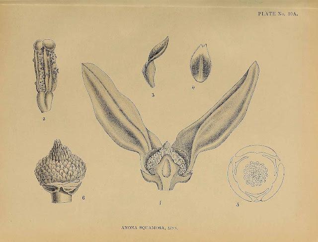 Flaszowiec łuskowaty (Annona squamosa) - sugar apple - kwiaty, kwitnienie, uprawa w domu, hodowla z nasiona kwitnienie w uprawie domowej, budowa kwiatu, zapylanie, zapylanie ręczne, kwitnące rośliny tropikalne, terminy kwitnienia, jak kwitną rośliny egzotyczne.