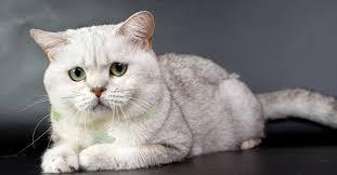 تفسير حلم القطة البيضاء , رؤية القطط في المنام بالتفصيل