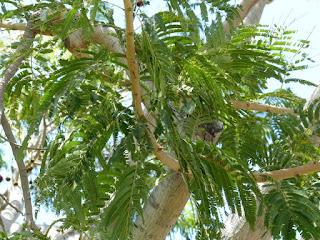 Néré - Arbre nutta - Parkia biglandulosa