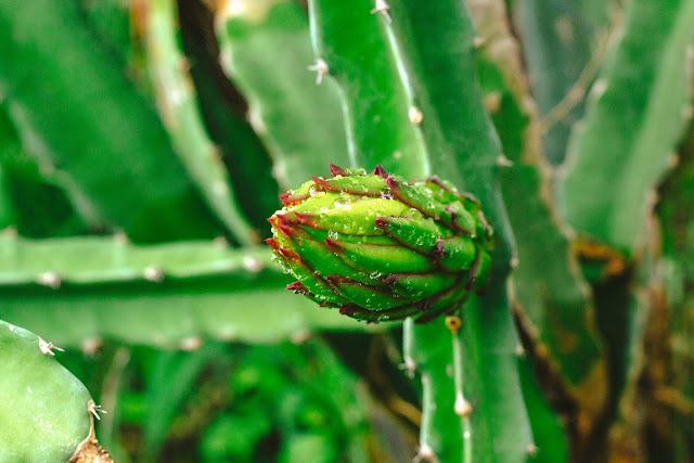 Mengatasi bunga buah naga menjadi buah