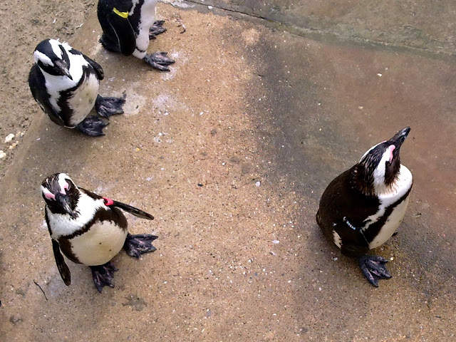 Penguins at the Leipziger Zoo