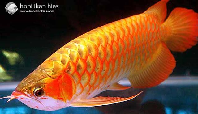 Inilah 3 Ranking Teratas Ikan Hias Termahal di Indonesia