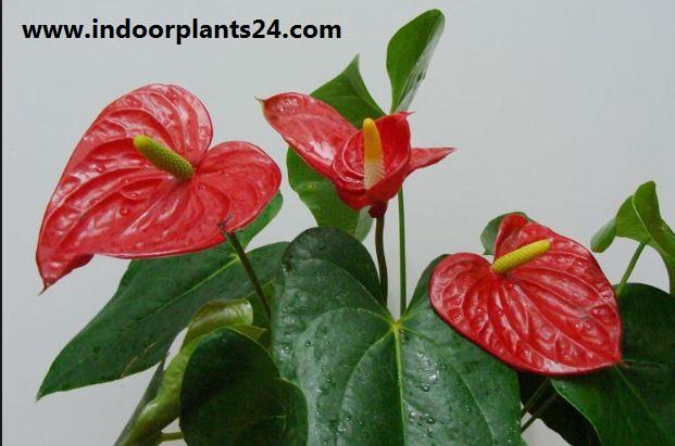 Flamingo Flower indoor Plant - Anthurium Scherzerianum image