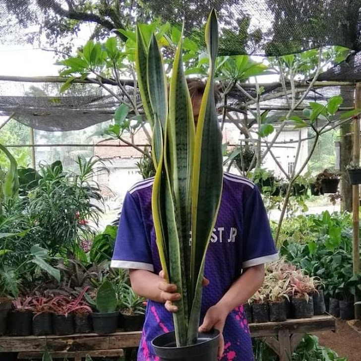 tanaman Hias sansivera satu meter Lidah mertua tinggi 1 meter Jawa Timur