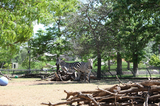 Zebras enjoying the sun at Como Park Zoo