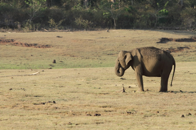 Elephant and dry Kabini lake bed