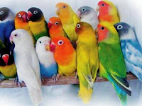 Cara Merawat Burung Lovebird Untuk Para Pemula