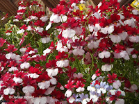 Red and white pansies, flower show - Kyoto Botanical Gardens, Japan