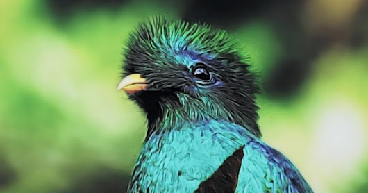 Quetzal bird HD images free download