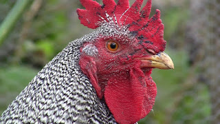 Barred Rock Rooster Temperament, Facts, Size, Weight, Lifespan