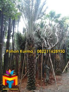 ALT=Pohon-kurma-3-meter
