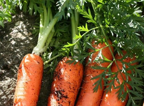 wortel berkembang biak