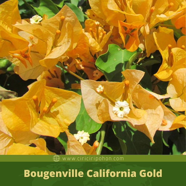 Ciri Ciri Pohon Bougenville California Gold