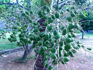 Roystonea Regia (Palem Raja) Fruit Tree
