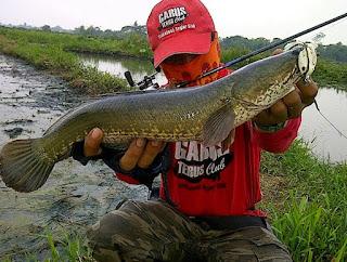 Memancing yaitu salah satu hobi yang sangat mengasyikan untuk orang  Nah ! Cara Memancing Ikan Gabus Paling Jitu