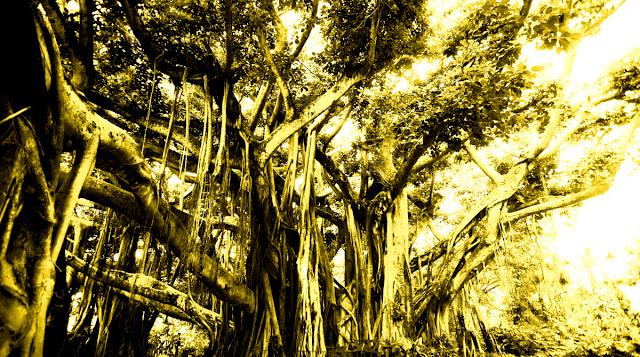 Juhu Tree, Mumbai