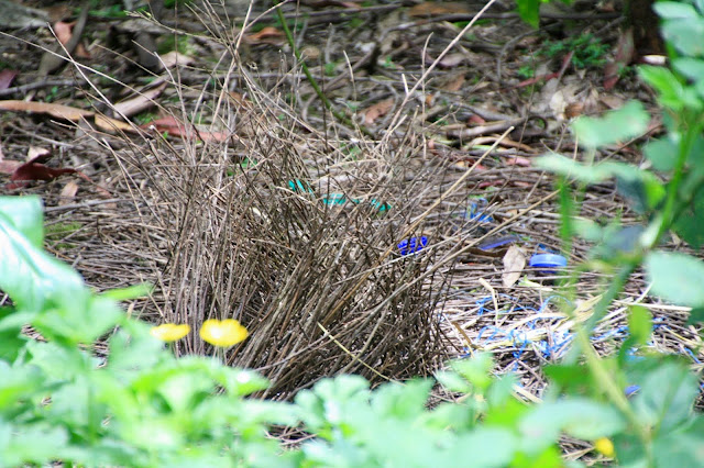 bower bird bower nest with blue items