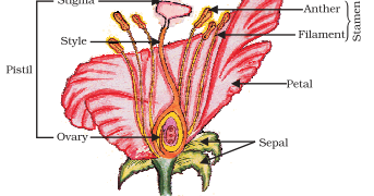 labelled diagram of pride barbados flower ford steering parts ncert biology solution: longitudinal section flower,name the male and female reproductive ...