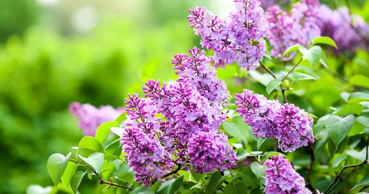 proljeće-cvijeće-jorgovan-ljubav-simbol-cvjetanje