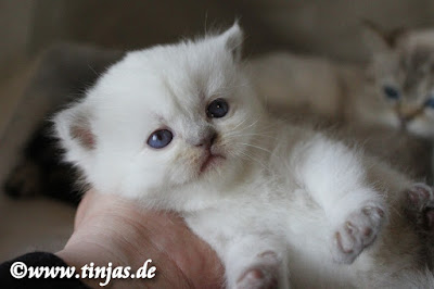 Britisch Kurzhaar Katzenbaby lilac point