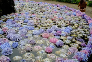 具足池に浮かべられたあじさいの花