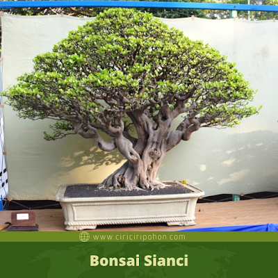 Bonsai Sianci