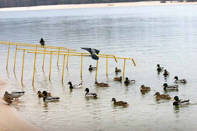 Фото Виталия Бабенко: серые вороны и утки