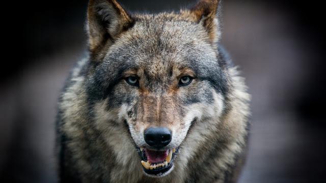 Ужас в гората: 70-годишна баба не се даде на огромен вълк, прогони го с пиратка