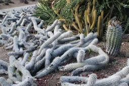 The Creeping Devil Cactus - Cactus That Move Across Desert