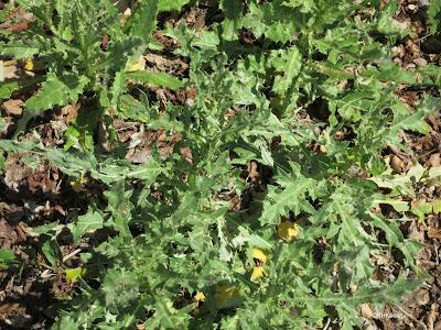 leaves of Canada thistle, Cirisum arvense
