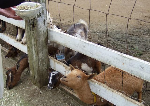 干し草をねだるヤギたち