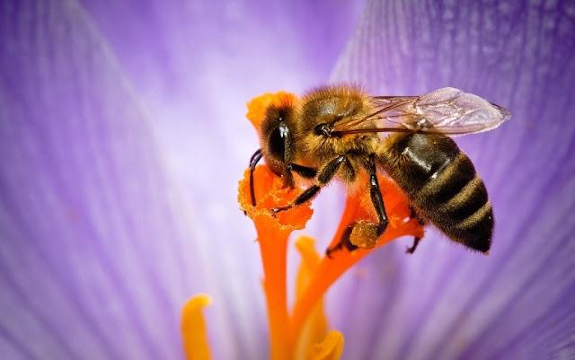 IMÁGENES DE ABEJAS EN FLORES - IMAGES OF BEES IN FLOWERS.